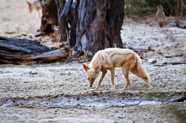 17.) Erythristic black backed jackal. Erythrism is a genetic condition that turns an animal