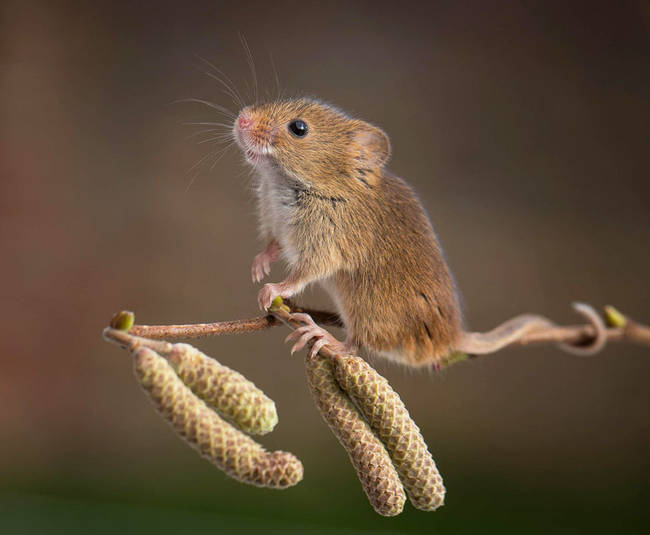 This mouse is very happy to be at the end of this twig.