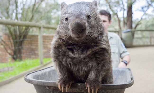 Wombats tend to burrow, so these backwards pouches protect their young.