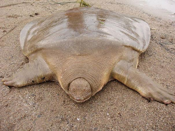 2.) Giant Soft Shelled Turtle
