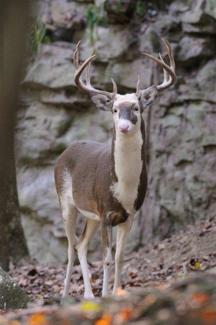 3.) A piebald deer. A piebald animal has white and brown patches rather than fur of a single color due to a genetic variation.