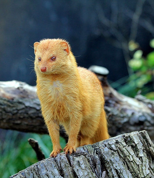 8.) A golden mongoose. Also the greatest name for a metal band, ever.