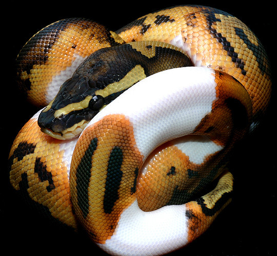 14.) That coloring only makes this python that much more terrifying.