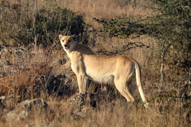 23.) A very rare cheetah without spots.