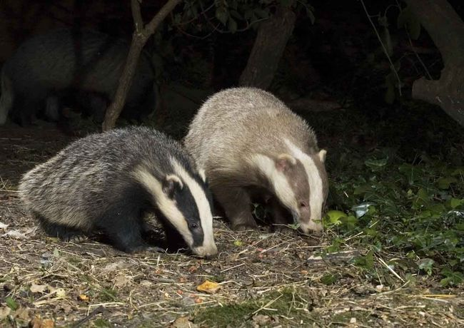 27.) Badger with his erythristic badger friend.
