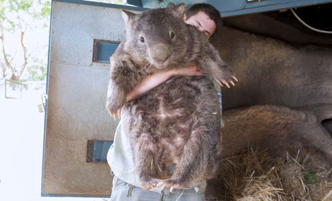 Wombats may look like big rodents (like capybaras), but they are marsupials.