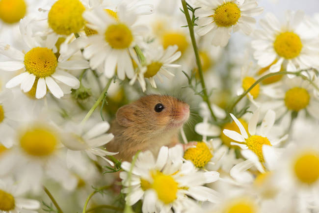 This mouse is just thrilled to be among the daisies.