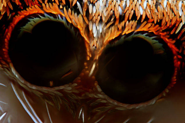 A closeup on a jumping spider