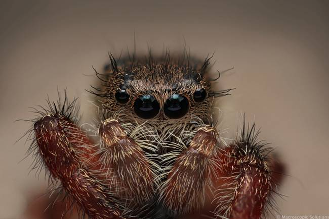 Another, cuter, jumping spider