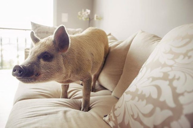 A pig can be one of the most obedient, intelligent, and affectionate pets for your home, but Jamon recommends lots of research and maybe even visiting with an adult pig owner before making the commitment.