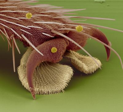 The foot of a housefly.