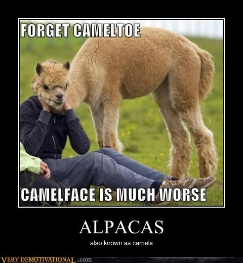 Hump Day Funny Camel