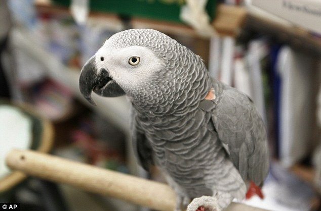 foul-mouthed-african-gray1